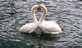 swans-342887__340