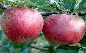 Lidia Calvano e le mele annurche